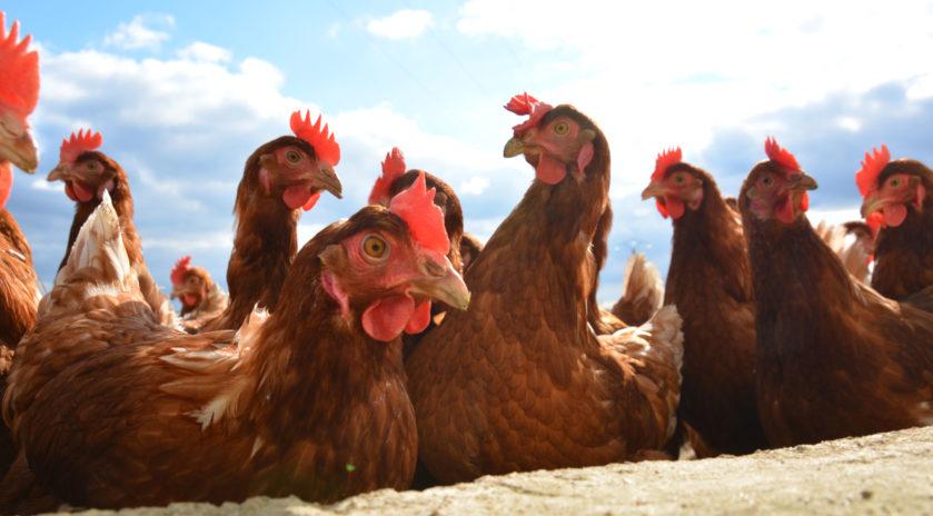 les poules de la fermes des hardys