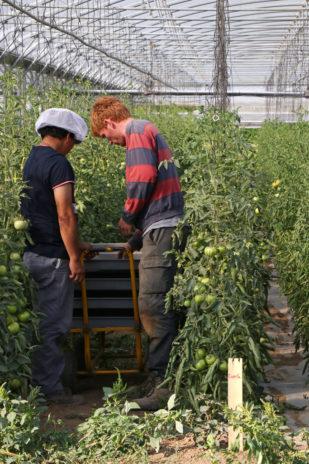 Jean-Baptiste, encadrant du jardin de Blois, aide un salarié dans une serre de tomates.