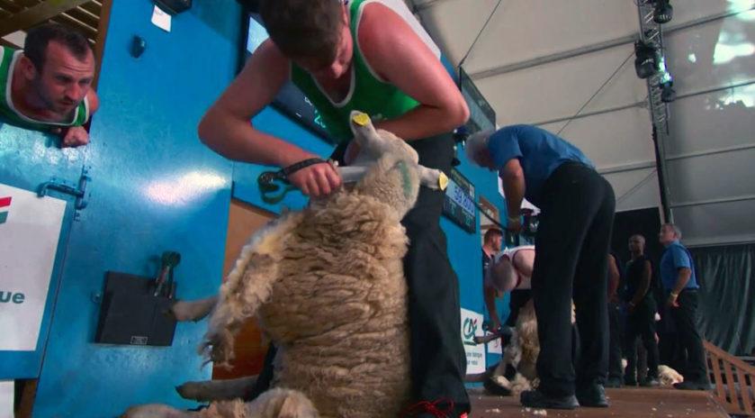 dorat mouton sheep handling