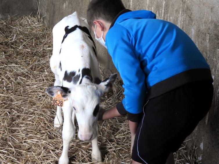 En visite à la ferme pédagogique de la Marque de l'Aube. un enfant caresse un veau qui ne semble pas opposé à ce geste de tendresse